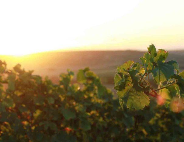 Visite vigne du Penedès